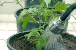 lavar correctamente las Raices de tu cultivo