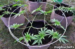 cultivo main lining