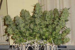 tecnicas de cultivo indoor