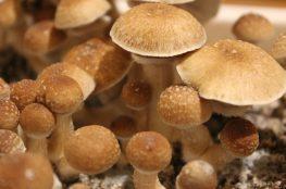 efecto de consumir hongos
