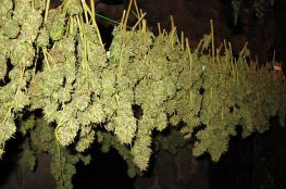 secado de marihuana