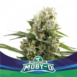 Moby-D XXL Autofloreciente