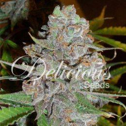 La-Diva-Autofloreciente -growshop-chile