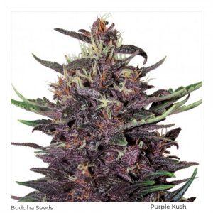 Purple Kush Feminizada (3) – Buddha Seeds