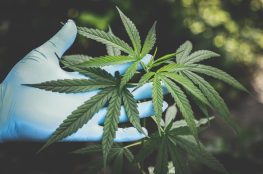 cultivo-de-marihuana-en-interior