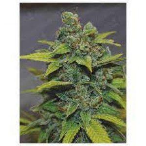Zkittlez Feminizada (3) – Medical Seeds